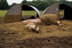 wilsons-pigs