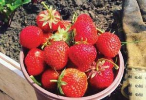 sam-cogg-strawberries
