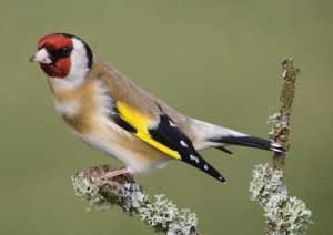 warren-goldfinch